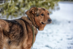 Brown mongrel dog on a leash Stock Photography