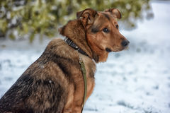 Brown mongrel dog on a leash Stock Photo