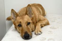 Brown mongrel dog lying on a bed Stock Photography