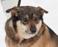 Brown mongrel dog in snow Stock Images