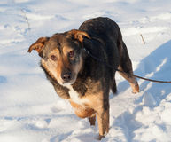 Brown mongrel dog in snow Royalty Free Stock Image