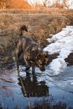 Brown mongrel goes on a puddle. Of in spring day Stock Photography