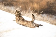 Brown mongrel on a spring day. Stretching lies on snow Royalty Free Stock Images