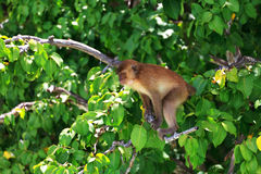 Brown monkey Royalty Free Stock Images