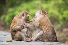A brown monkey checking for fleas and ticks in the female. A male monkey checking for fleas and ticks in the female Royalty Free Stock Images