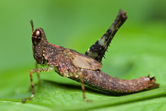 Brown monkey grasshopper Royalty Free Stock Photo