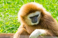 Brown monkey on green grass Royalty Free Stock Images