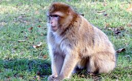 Brown Monkey on Green Grass during Daytime Stock Image