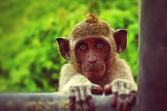 Brown Monkey Holding Black Metal Bar Royalty Free Stock Images