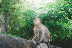 Brown Monkey on Log Stock Image