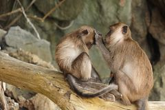 Brown monkey mother finding insect for her baby stock image