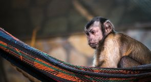 Brown Monkey on Red and Black Hammock Stock Photography
