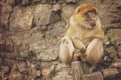 Brown Monkey Sitting on Brown Wood Royalty Free Stock Photo