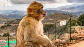 Brown Monkey Sitting on Ground Royalty Free Stock Photo