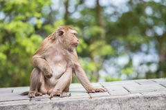 Brown monkey sitting in the park of Thailand. A brown monkey sitting in the park of Thailand Royalty Free Stock Photos