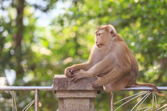 Brown monkey sitting in the park of Thailand. A brown monkey sitting in the park of Thailand Royalty Free Stock Photography