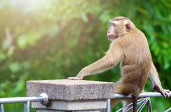 Brown monkey sitting on the steel rail in the park of Thailand. A brown monkey sitting on the steel rail in the park of Thailand. Looking to left side with free Royalty Free Stock Photography