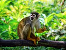 Brown Monkey on Tree Trunk Sitting Stock Image