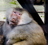 Brown monkey at zoo garden royalty free stock image