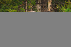 Brown Moose Near Brown Bare Trees Royalty Free Stock Photo