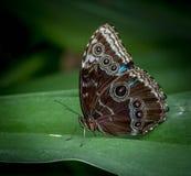 Brown Morpho motyl Menclaus Fotografia Stock