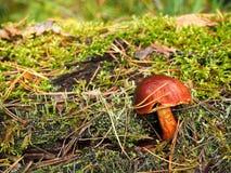 Brown mossiness mushroom Royalty Free Stock Photos