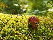 Brown mossiness mushroom Stock Image