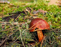 Brown mossiness mushroom Royalty Free Stock Images