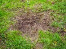 Brown mossy patch in green grass. Closeup of brown mossy patch on green grass royalty free stock images