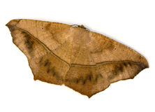 Brown Moth Stock Photos