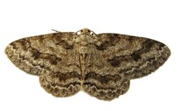 Free Brown Moth Stock Images - 16278354