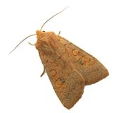 Brown moth Stock Photography