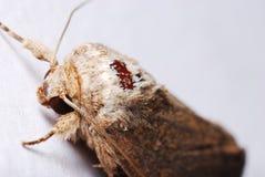 Brown Moth royalty free stock photos