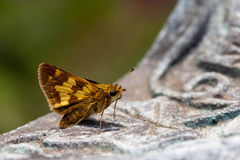 Brown moth Royalty Free Stock Photography