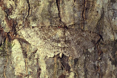 Brown moth camouflaged on tree bark. A brown mottled colored moth camouflaged on tree bark, hard to see Stock Photo