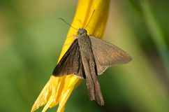 Brown moth on flower Stock Photo