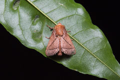 Brown moth on green leaf Stock Photography