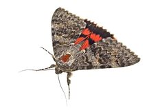 Free Brown Moth Isolated On White Background Stock Image - 171105101