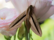 Brown Moth on The Light Pink Lily. The Brown Moth on The Light Pink Lily stock images