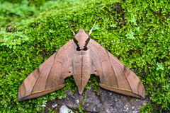 Brown moth Royalty Free Stock Photos