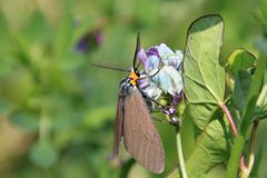 A brown moth with an orange head. A brown moth with orange head on a blue and purple flower, animal, antennae, closeup, colorful, green, insect, natural, nature stock photography