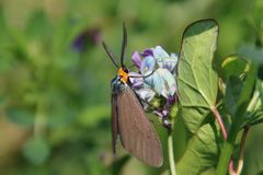 A brown moth with an orange head. A brown moth with orange head on a blue and purple flower, animal, antennae, closeup, colorful, green, insect, natural, nature stock images