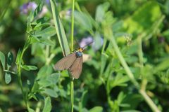 A brown moth with an orange head. A brown moth with orange head on a stalk of grass with green plants in the background, animal, antennae, closeup, colorful royalty free stock photo