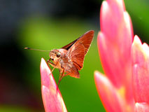 Brown moth on pink flower Stock Images
