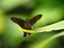 Brown moth resting on leaf Royalty Free Stock Photos