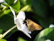 Brown Moth Sucks Nectar Royalty Free Stock Photo