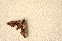 Brown moth on the wall Stock Photo
