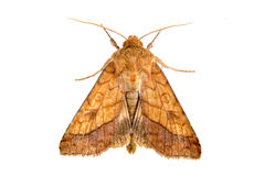 Brown moth on a white background Royalty Free Stock Photo