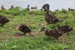 Brown mother duck and ducklings walking in the grass. On a sunny day Stock Images