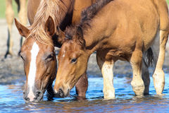 Brown mother horse and foal drinking water. On the watering place royalty free stock photo